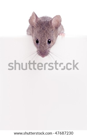 mouse looking over the edge isolated on white with copyspace - stock photo