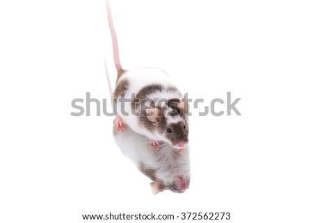Mouse on Mirror - stock photo