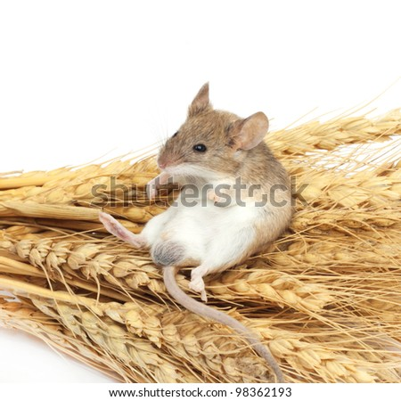 mouse on wheat - stock photo