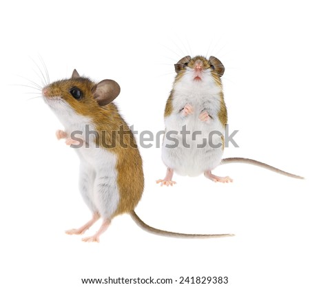 Mouse Standing Upright - Isolated Brown & White Woodlands Deer Mice - Peromyscus - stock photo