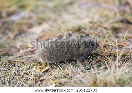 Mouse vole, close-up - stock photo