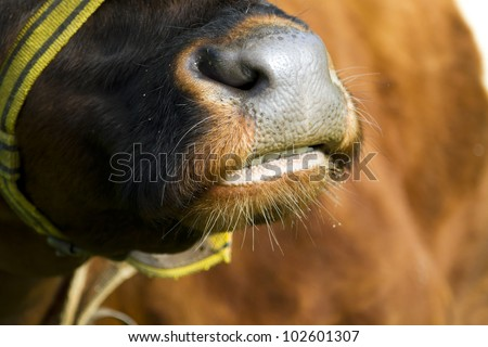 Mouth of a large brown bull showing his teeth - stock photo