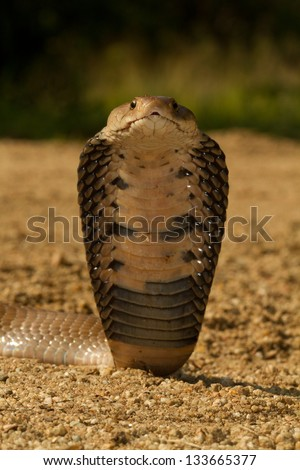 Mozambique Spitting Cobra - stock photo