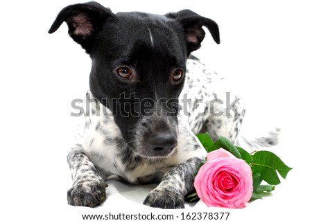 Mr. dog with a Rose - stock photo
