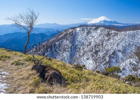 Mt.Fuji and laying deer - stock photo