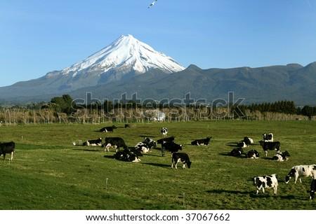 Mt Taranaki with cows in field, New Zealand - stock photo