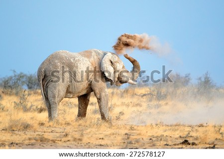 Mud covered African elephant (Loxodonta africana) throwing dust, Etosha National Park, Namibia - stock photo