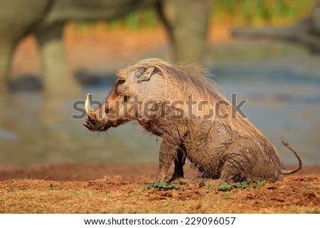 Mud covered warthog (Phacochoerus africanus) at a waterhole, South Africa - stock photo