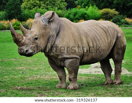 Muddy rhinoceros male, standing, starring out into the field. - stock photo