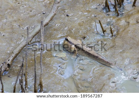 Mudskipper asia Thailand - stock photo