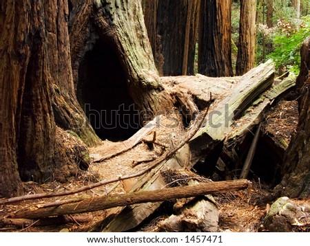 Muir wood - stock photo