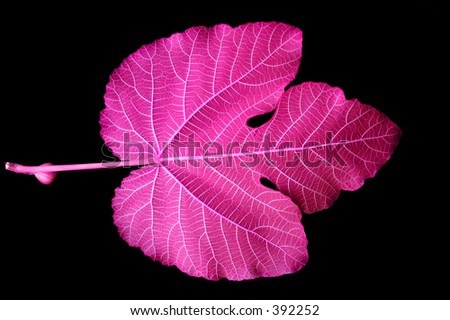 Mulberry Leaf - pink - stock photo