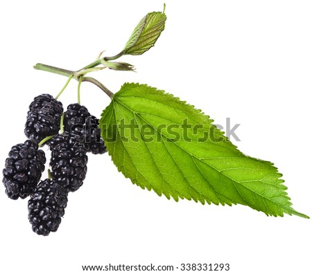 Mulberry with leaf Isolated on white background - stock photo