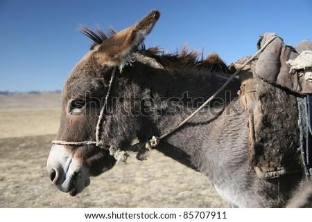 Mule - stock photo