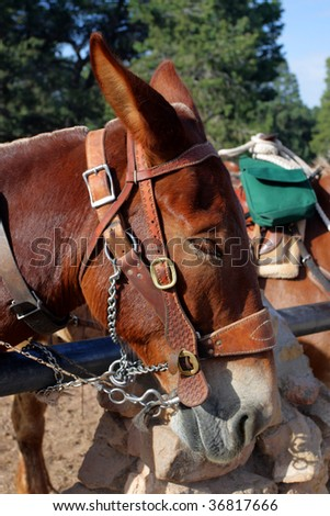 Mule at the Grand Canyon National Park - stock photo