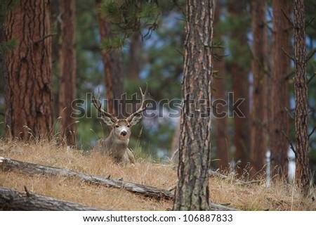 Mule Deer Buck bedded in a Ponderosa Pine forest - stock photo