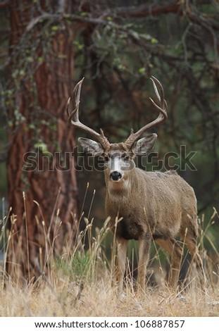 Mule Deer Buck in Ponderosa Pine habitat - stock photo