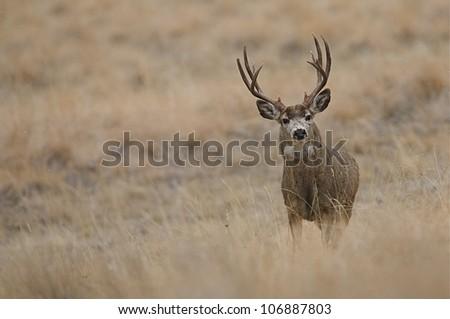 Mule Deer Buck in prairie grasslands, horizontal format - stock photo
