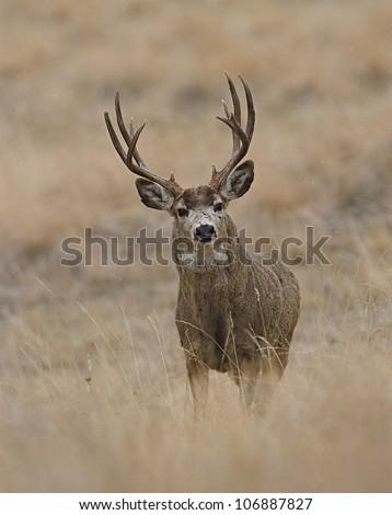 Mule Deer Buck in prairie grasslands, vertical format - stock photo