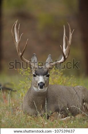Mule Deer Buck with Huge Antlers, bedded down in wild grasses - stock photo
