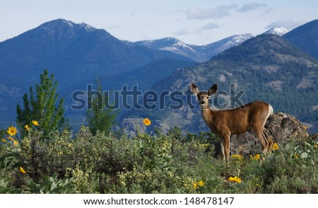 Mule Deer doe, Odocoileus hemionus, in mountainous alpine habitat surrounded by wild sun flowers in the Pacific Northwest's Cascade Mountains Adult Mule Deer are vegetarians / vegans / herbivores - stock photo