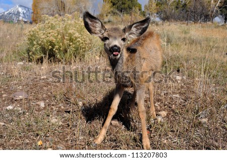 Mule Deer Fawn sticking out tongue - stock photo