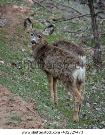 Mule deer in the springtime in Zion's national park Utah USA. - stock photo