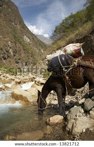 Mule drinking from the Rio Blanco near Cusco, Peru. - stock photo