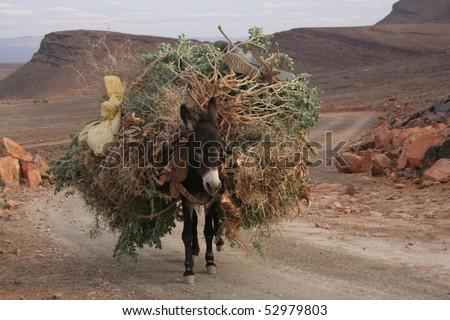 Mule in high Atlas mountain - stock photo