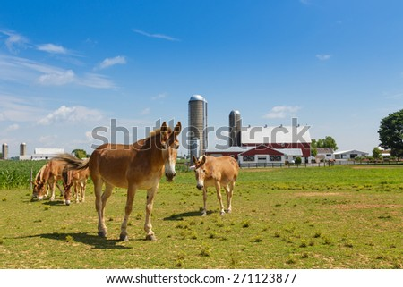 Mules in a pasture in Lancaster County Pennsylvania dutch country. - stock photo