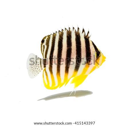 Multi bar angel  marine fish on white - stock photo
