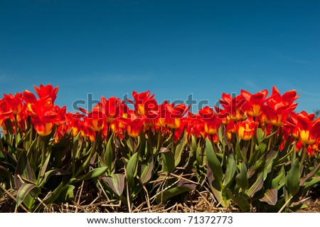 Multi color red tulips in the Dutch fields - stock photo