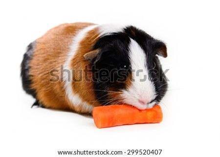 Multi-color tricolor guinea pig pet munching on / eating a carrot on white background - stock photo