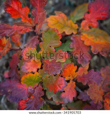 Multi-colored autumn leaves of oak - stock photo