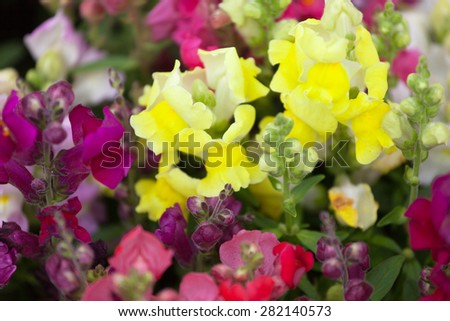 Multi-colored flowers of Antirrhinums on a bed - stock photo