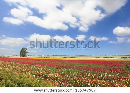 Multi-colored garden buttercups. Spring flowering fields in Israel - stock photo