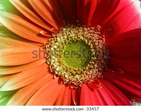 Multi colored gerber daisy. - stock photo
