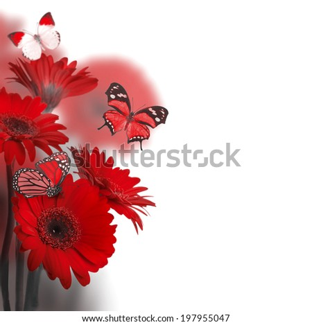 Multi-colored gerbera daisies on a white background and butterfly - stock photo