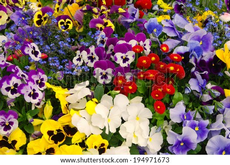 Multi-colored pansies and red daisies - stock photo