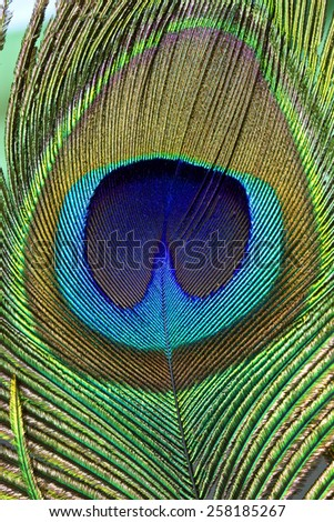 Multi colored peacock feathers,Closeup peacock feathers ,background texture, abstract - stock photo