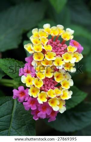 multi-colors vinca flowers - stock photo