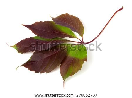 Multicolor autumn grapes leaf (Parthenocissus quinquefolia foliage). Isolated on white background. - stock photo