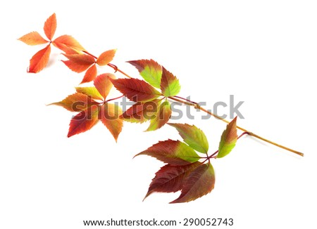 Multicolor autumn twig of grapes leaves (Parthenocissus quinquefolia foliage). Isolated on white background. - stock photo