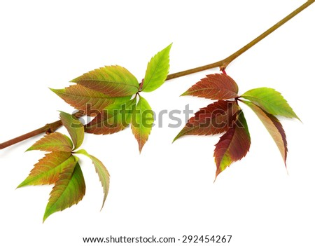 Multicolor autumn twig of grapes leaves, parthenocissus quinquefolia foliage. Isolated on white background.  - stock photo