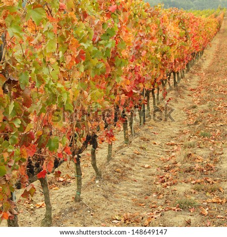 multicolor autumnal vine plants row in  Tuscany, Italy, Europe - stock photo