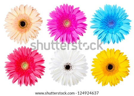 Multicolor gerber daisy isolated on white. - stock photo
