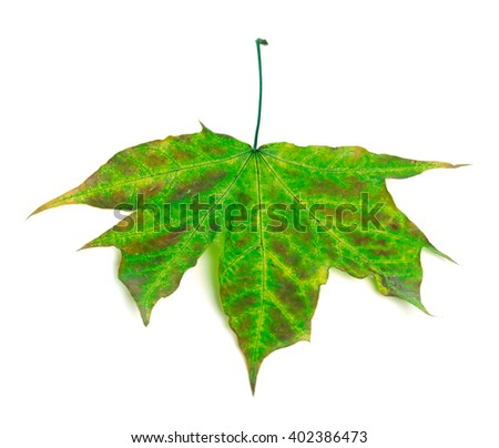 Multicolor maple-leaf isolated on white background - stock photo