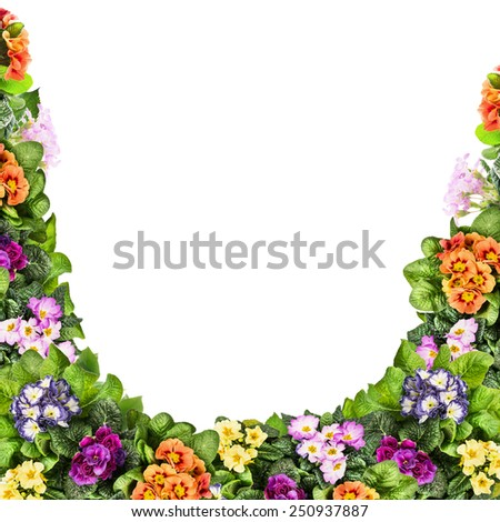 Multicolor primula flowers frame, isolated on white background - stock photo