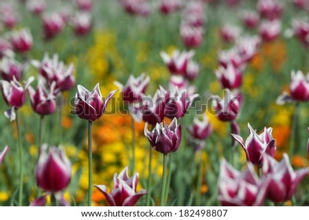 Multicolor tulips background in sun spring day. Selective focus. - stock photo
