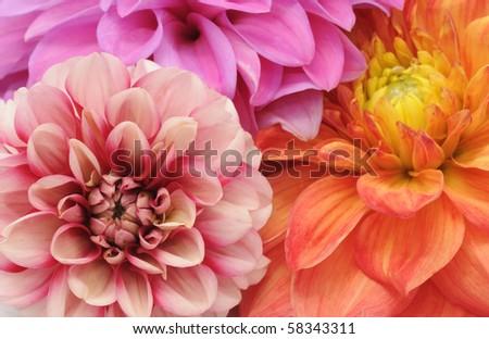 Multicolored Dahlias - stock photo